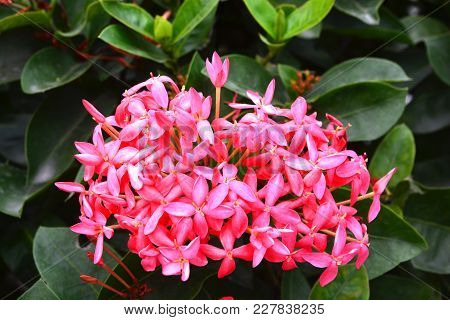 Ixora Is A Genus Of Flowering Plants In The Rubiaceae Family. It Is The Only Genus In The Tribe Ixor