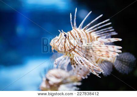 Portrait Of Beautiful Venomous Lion Fish Living In Aquarium