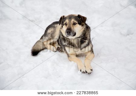 Dog Lying On The Snow On A Winter Day Closeup