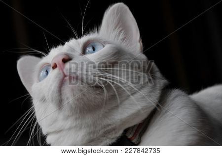 Siamese Cat Sit On The Bed And Looking Out Window, White Cat With Blue Eyes Looking At Birds