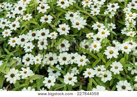 Many White Daisy Top View Background Pattern Desing