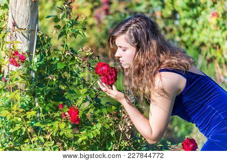 Elegant Young Woman In Blue Velvet Dress By Garden Red Roses Blooming Smelling Touching Flowers Side
