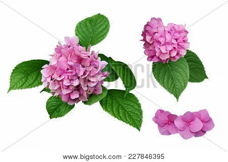 Pink Hydrangea Flowers With Green Leaves. Isolated, White Background.