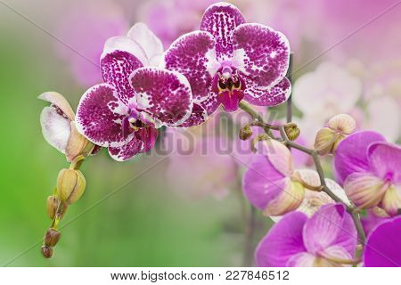 Spotted Purple Flowers Of Orchids Phalaenopsis, Living Tropical Plant.