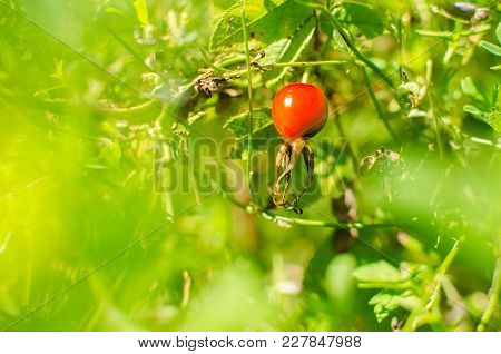 Berry Of Dogrose On A Green Background Surrounded By A Green Haze Under The Bright Rays Of The Sun