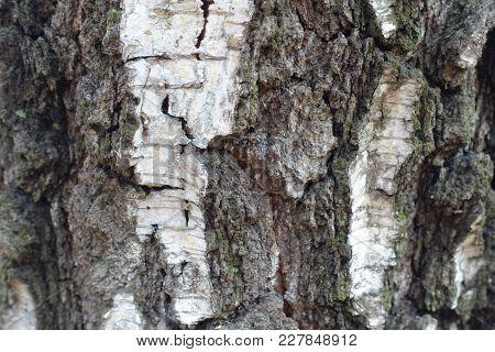 White And Dark Grey Bark Of Birch