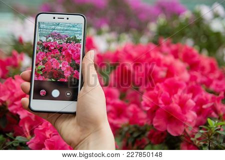 A Hand With A Phone Photographs Blooming Azaleas. A Girl Takes On Phone Blossoming Azaleas