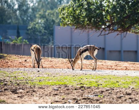Two Thomson's Gazelle (eudorcas Thomsonii) Are Looking For Food On The Ground In Safari Park Ramat G