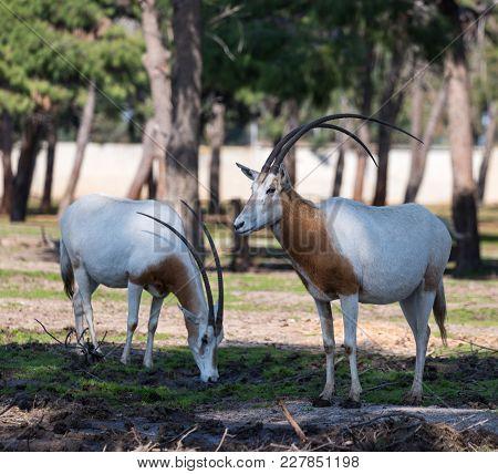 Ramat Gan, Israel - Februar 21, 2018 : Two Gemsboks (oryx Gazella) Stand In Safari Park Ramat Gan, I