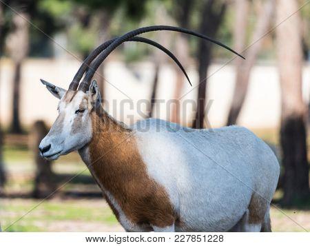 Ramat Gan, Israel - Februar 21, 2018 : The Gemsboks (oryx Gazella) Stand In Safari Park Ramat Gan, I