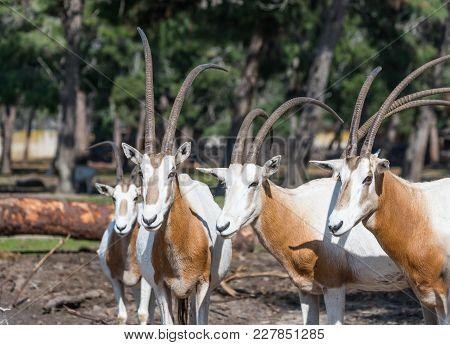 Ramat Gan, Israel - Februar 21, 2018 : The Herd Of The Gemsboks (oryx Gazella) In Safari Park Ramat