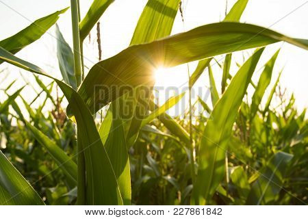 Close Up Leaves Of Fresh Corn On Sunset Sun On Agricultural Field Summer.