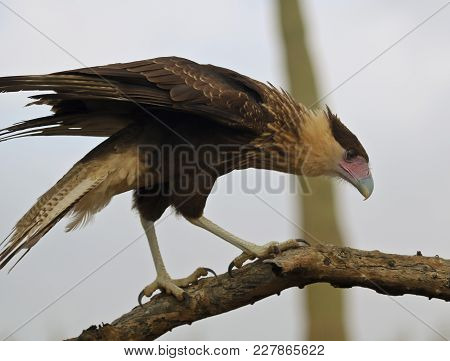 An Immature Northern Crested Caracara, Caracara Cheriway, On An Old Mesquite Snag