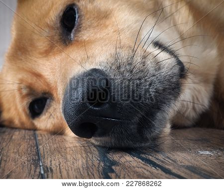 The Dog's Nose. The Dog Is Big Lying On The Wooden Floor