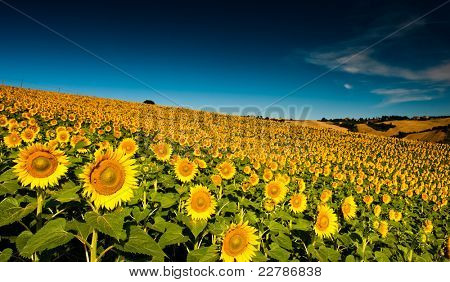 beautiful backlit sunflowers in the soft morning light with blue sky and white clouds