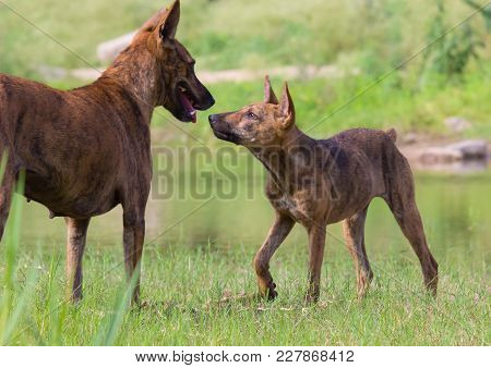 The Domestic Dog Is A Member Of The Genus Canis, Which Forms Part Of The Wolf-like Canids, And Is Th