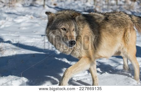 An Apprehensive Timber Wolf In A Snowy Forest