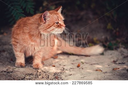 A Red Cat Is Sitting On The Beach In The Fall.