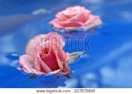 Pink Rose Buds Floating In Blue Garden Pool Water Greeting Card.