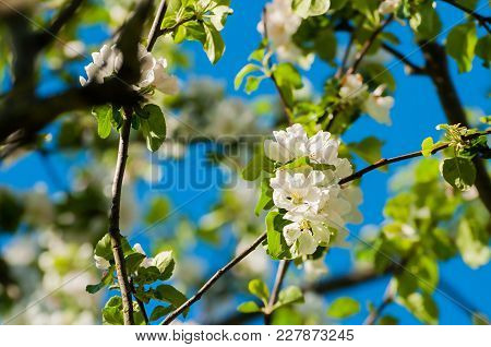 Spring Flowers Of Apple Tree Blooming In The Spring Garden. Natural Spring Flower Landscape, Spring