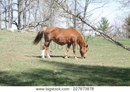 Brown Horse In An Enclosed Field Of Short Grass An Rocks.