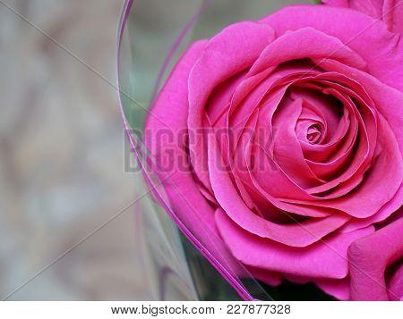 Flowers. Rose Flower Dark Pink Color Bright, Celebration, Color, Colorful, Composition, Congratulati