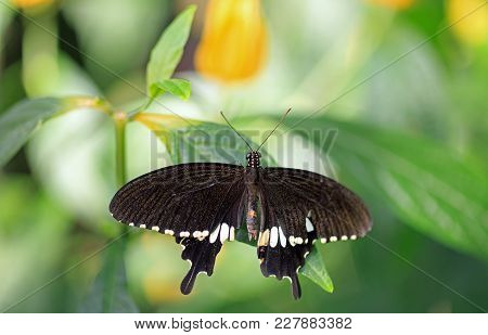 Beautiful Swallow Tail Butterfly With Wings Extended Resting On A Vibrant Green Leaf