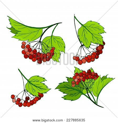 A Set Of Viburnum Branches. Bunches With Ripe Autumn Red Berries In Foliage. Vector