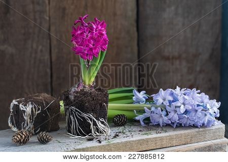 Violet Hyacinth Without Pot On The Wooden Rustic Background. Spring Gardening Concept. With Pine Con