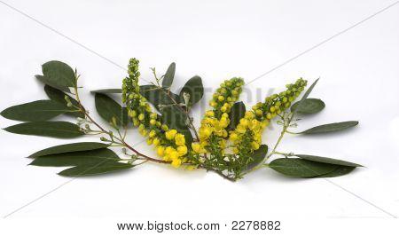 Eucalyptus With Mahonia
