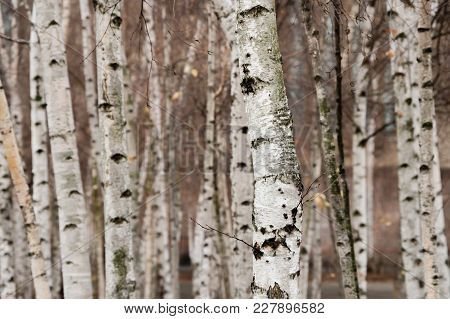 A Group Of Birch Trees With White Bark Growing In An Urban Area.