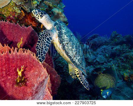 Hawksbill Sea Turtle Swimming With French Angelfish Over Barrel Sponge