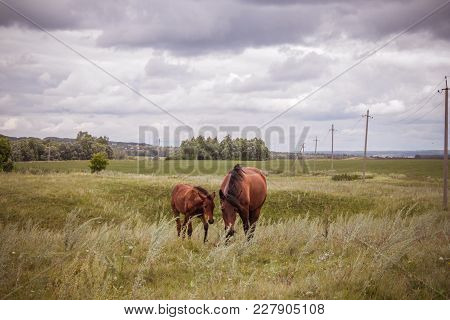 Horse With A Foal In A Meadow.