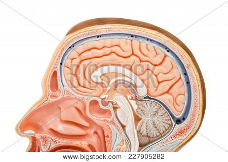 Human Brain Anatomy Model For The Education