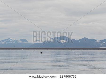 Minke Whale Balaenoptera Acutorostrata, Dorsal Fin Visible At The Ocean Surface. Svalbard Mountains
