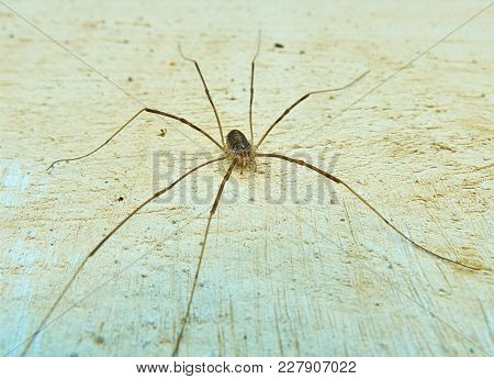Small Spider With A Very Long Legs Sitting On The Wall Very Close To The Camera