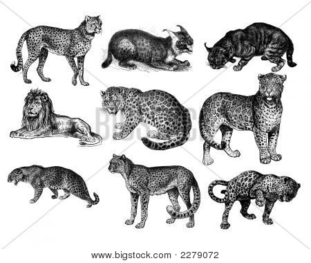 Big cat etichingsfor illustration big cats of africa poster