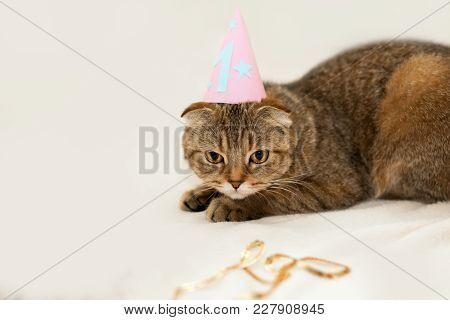 Scottish Fold Cat, Brown Tabby. First Birthday Of The Cat.