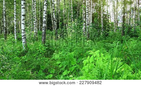 Beautiful Birch Forest. Wild Forest At Sunny Day.