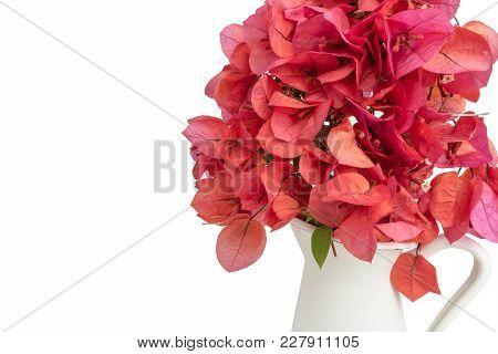 Bougainvillea Flower. Bloom Pink Bougainvillea On White Background