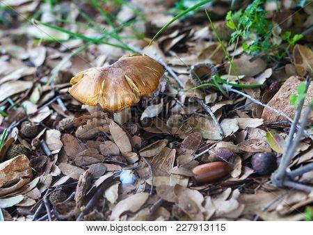 Single Mushroom On Dried Foliage