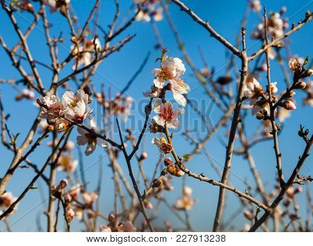 Early Almond Blossom In Spring
