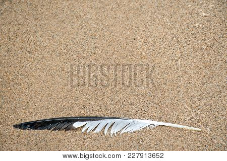 Black And White Seagull Feather On Wet Beach Sand