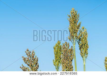 Close Up Sorghum In Field Agent Blue Sky