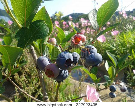 A Bunch Of  Blueberries In The Garden. Blueberry Antioxidant Organic Superfood Healthy Eating And Nu
