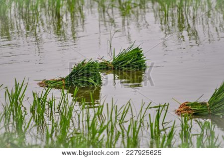 Paddy Rice In Raining Season In Asia