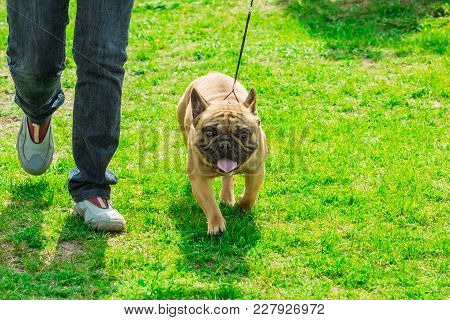 French Bulldog Of Light Brown Color Goes Next To Its Owner On The Green Grass