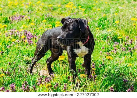 American Staffordshire Terrier Puppy Dog In The Green Summer Field Grass