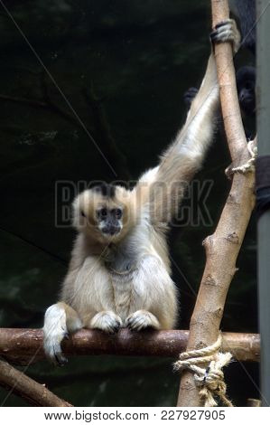 White Cheeked Gibbon Monkey Primate Holding Onto A Branch Animal, Nature
