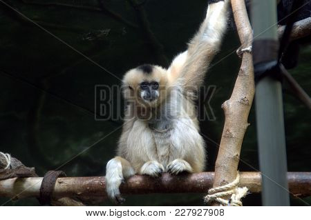 White Cheeked Gibbon Monkey Primate Perched On A Seat And Holding Onto A Branch Animal, Nature